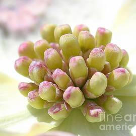Terry Weaver - Dogwood Blossom Macro