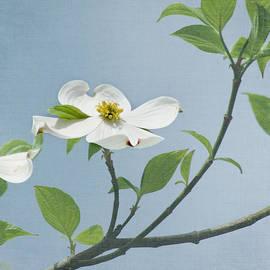 Kim Hojnacki - Dogwood Blossoms
