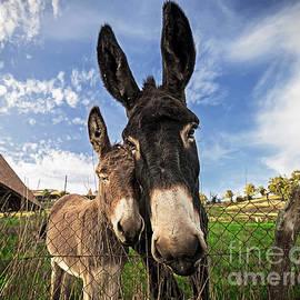 Tony Priestley - Donkeys