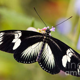 Oscar Gutierrez - Doris Longwing Butterfly