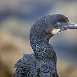 David Millenheft - Double-crested Cormorant