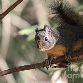 Tania Morris - Douglas Squirrel