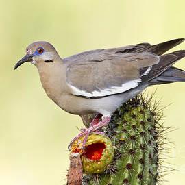 Bryan Keil - Dove on a cactus