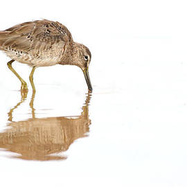 Ruth Jolly - Dowitcher on White