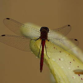 Zori Minkova - Dragonfly on a Lily