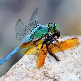 Cynthia Guinn - Dragonflies