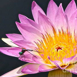Byron Varvarigos - Dragonfly and Waterlily two