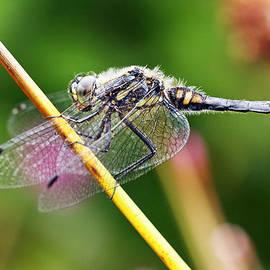 Grant Glendinning - Dragonfly