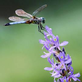 Jennie Breeze - Dragonfly Haze..NZ