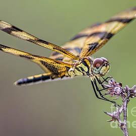 Olga Hamilton - The Halloween Pennant Dragonfly