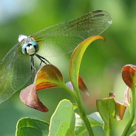 Lynne Miller - Dragonfly On A Dogwood Tree
