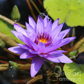 Carol Groenen - Dragonfly on Water Lily Square
