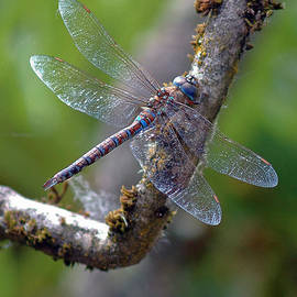 Beth Wolff - Dragonfly resting on branch