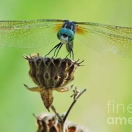Joy Bradley - Dragonfly Smile