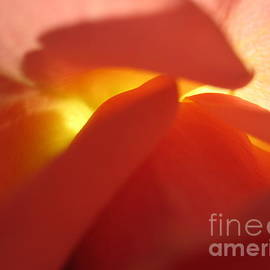 Tara  Shalton - Glowing Orange Rose 2