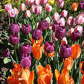 Photographic Art and Design by Dora Sofia Caputo - Dreaming of Spring - Tulips