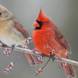 Bonnie Barry - Dreamy Redbirds