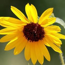 Janice Rae Pariza - Dripping Sweet Sunflower