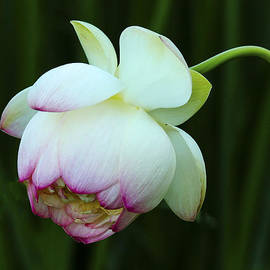 Jean Noren - Drooping Lotus