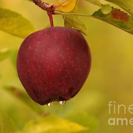 Jeff Swan - Droplets From A Red Apple