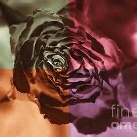 Claudia Mottram - Dry orange rose