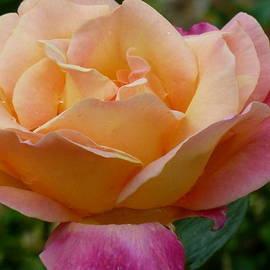 Barbara Ebeling - Dublin Rose