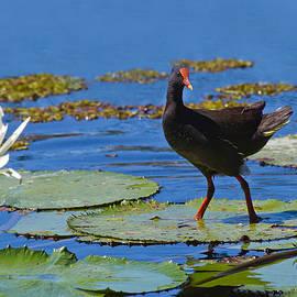 Mr Bennett Kent - Dusky Moorhen admiring the water lilies