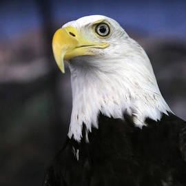 Dwight Cook - Bald Eagle
