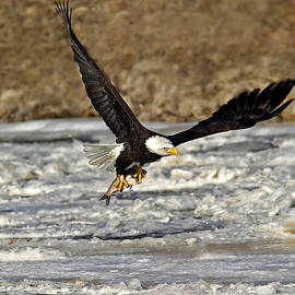 Gerald Marella - Eagle Flying With Fish