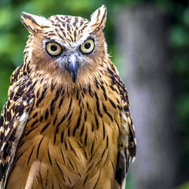 Jijo George - Eagle Owl