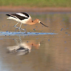 Ruth Jolly - Early Morning Avocet