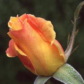 Ginny Barklow - Early Morning Rosebud