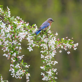 Bill  Wakeley - Easter Bluebird Square