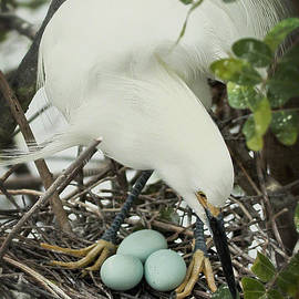 Dawn Currie - Easter Snowy Egret Mom on Nest