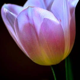 Deb Halloran - Easter Tulip