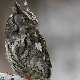 Inspired Nature Photography By Shelley Myke - Eastern Screech Owl in the Snow