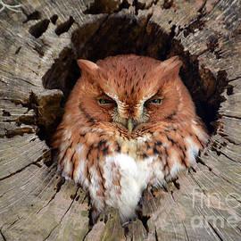 Kathy Baccari - Eastern Screech Owl