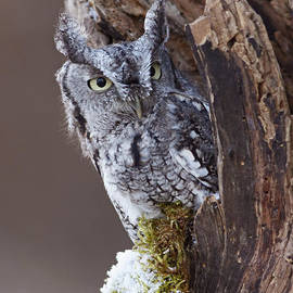 Inspired Nature Photography By Shelley Myke - Eastern Screech Owl Winter Alert