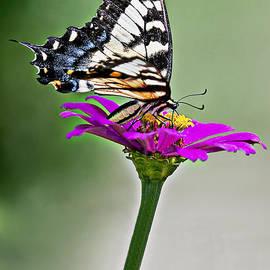 Marcia Colelli - Eastern Swallowtail Butterfly
