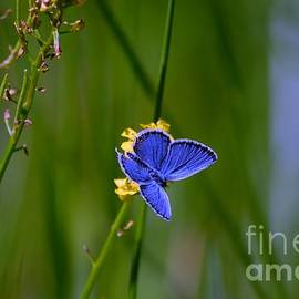 Peggy  Franz - Eastern Tail Blue Butterfly