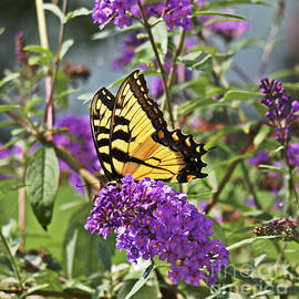 Candy Frangella - Eastern Tiger Swallowtail Butterfly