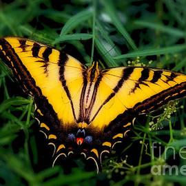 Jerry Cowart - Eastern Tiger Swallowtail Butterfly
