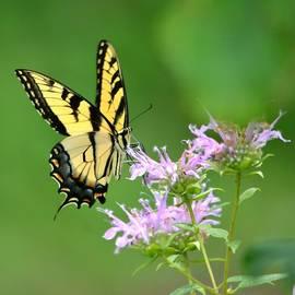 Deena Stoddard - Eastern Tiger Swallowtail