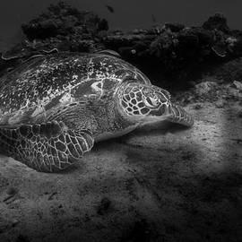 Echte Karettschildkroete - Eretmochelys imbricata - Hawksbill Sea Turtle