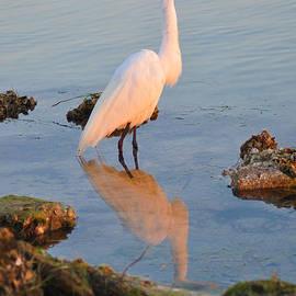 Bill Cannon - Egret - Dunedin Florida