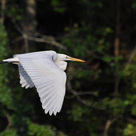 Paul Lyndon Phillips - Egret Fly By  - egfbc2732d