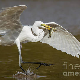 Carl Jackson - Egret happy dance......
