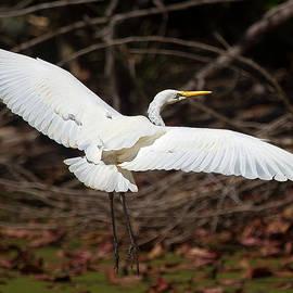 Mr Bennett Kent - Egret in Flight