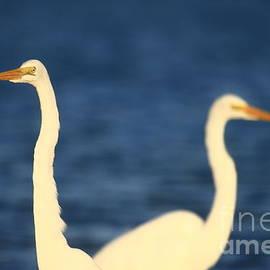 John Tsumas - Egrets in Blue