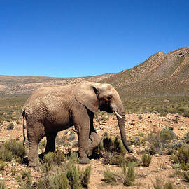 Devan M - Elephant
